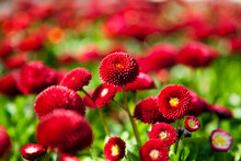 Landscape Image Of Bellis Perennis, The Beautiful Bright Red Meadow Daisy, With Green Floiage And With A Shallow Depth Of Field Number 2