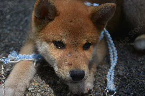 Canvas shina inu en ballade
