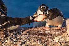 Gentoo Penguins In Antarctica ...