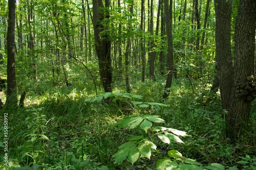 Obraz na plátně Calm shadow temperate broadleaf and green forest floor