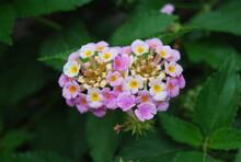Purple And Yellow Lantana Flor...