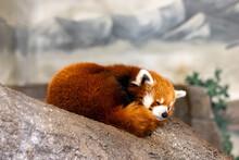 Red Panda Slumbering