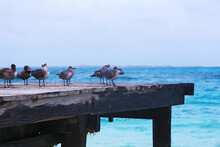 Little Meeting Of Seagulls In Cancún