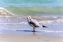 Another Seagull In The Beach