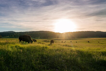 A Herd Of American Bison, Or Buffalo, Graze On The Rolling Hills Of Eastern Wyoming.