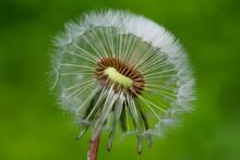Macro Dandelion Seedhead