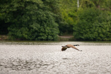 Canada Goose Flying Over The L...