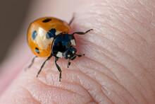 Ladybird On A Finger