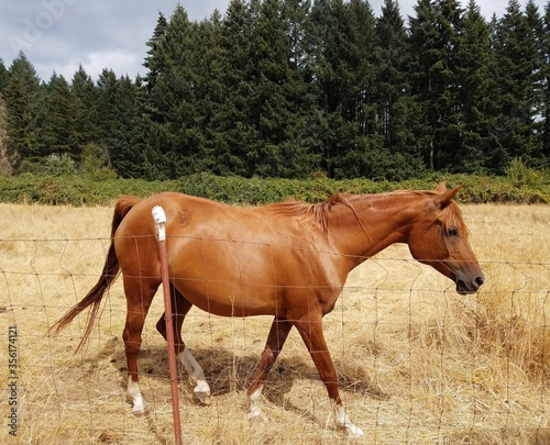 brown horse in field with brown grass and fence