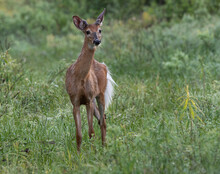 A Young Male White Tailed Deer...