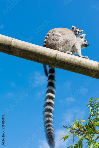 Ring-tailed lemur (Lemur catta) on blue sky background during a summer day Wallpaper Mural