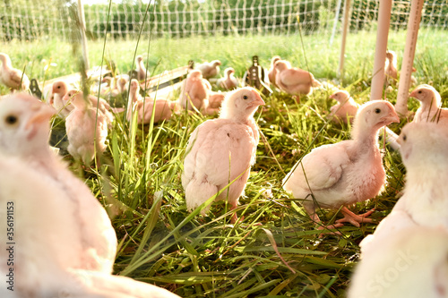 a broiler chick in a chicken tractor Fototapeta