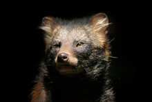 Raccoon Dog, Nyctereutes Procy...