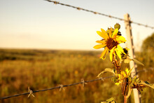 A Wild Sunflower Grows Along A Barbed Wire Fence In The Kansas Countryside.