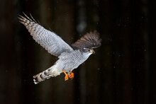 Goshawk Flight, Germany. North...