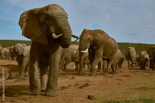 elefant safari Canvas Print