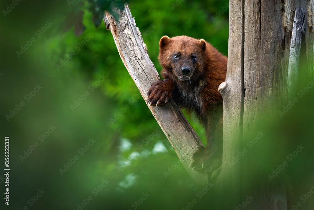 Fototapeta Wolverine on the tree trunk. Detail portrait of wild wolverine. Danger animal in Finland taiga. Mammal animal in the forest. Raptor in the green forest nature. Wildlife Europe.