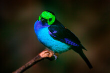 Multicoloured Tanager In The Nature Habitat. Paradise Tanager, Tangara Chilensis, Bird With Blue Throat And Light Green Face, Wildlife In Brazil. Tanager Sitting On The Branch In Dark Tropic Forest.