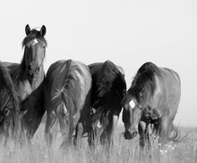 Horses Grazing With One Looking Up