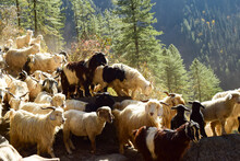 Group Of Goats In Himalaya, On...