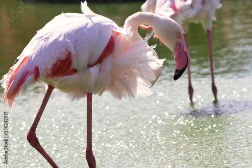 Tablou Canvas Elegant pink flamingo in stagnant water covered by green algae