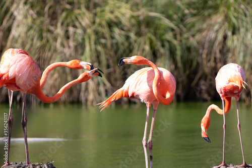 Fotografie, Tablou Elegant pink flamingo in stagnant water covered by green algae