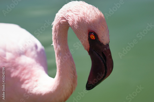 Valokuva Elegant pink flamingo in stagnant water covered by green algae