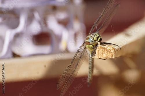 Warzka ,owad ,owad latający - 356244186