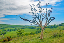 The Lone Dead Tree On The Sussex Hillside