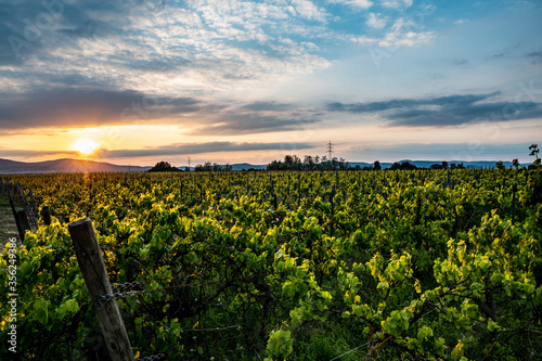 Weinreben bei Sonnenuntergang Panorama Fotobehang