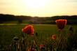 Mohnblume bei Abendsonne Abend Abendlicht