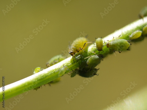 Canvastavla Group of Aphis move down a tiny branch in broad daylight