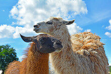 Close-up Of The Heads Of Lama ...
