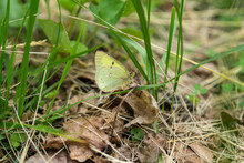 Clouded Sulphur Butterfly In S...
