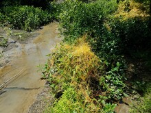 Small Creek And Mud In A Wetland Area And Orange Weed Vine