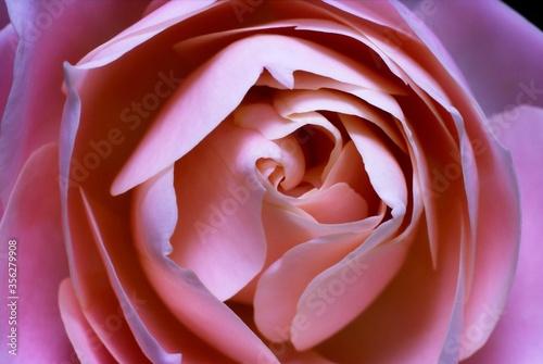 Fototapeta Pink rose close up picture  obraz na płótnie