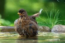 Young Blackbird (Turdus Merula) Bathes In The Water Of A Bird's Waterhole. Czechia. Europe.
