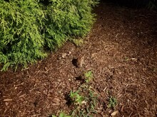 Large Brown Frog Or Toad In Brown Mulch At Night