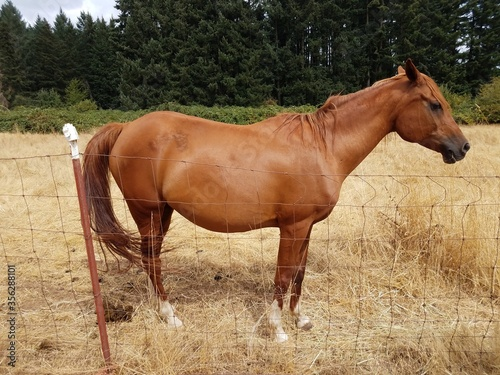 brown hair horse in field with brown grasses and poop
