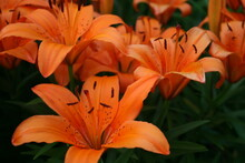 Orange Asiatic Lilies 2020 III