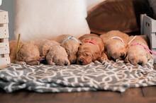 Newborn Female Puppies