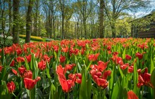 Beautiful Shot Of Huge Tulip F...