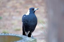 Australian Magpie (Cracticus T...