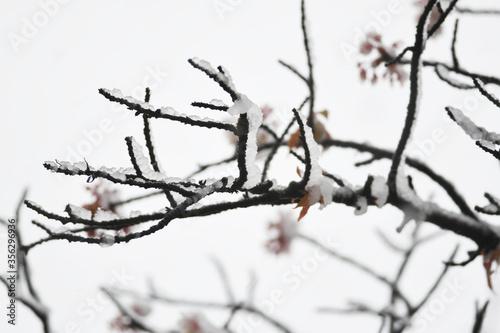 厳しい春 雪 桜 Fototapet