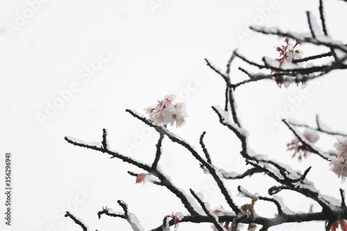 厳しい春 雪 桜 Fotobehang