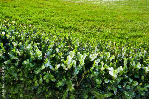 Photo Evergreen bushes after freezing rain.