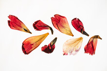 Dried Tulip Petals On The Whit...