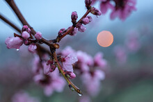 Raindrops On Peach Blossom Petals, Close-up, Blurred Background