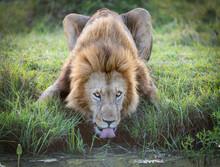 One Male Lion Drinking Water W...