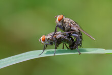 Close Up Of A Fly Mating
